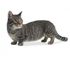 Munchkin cat short legs
