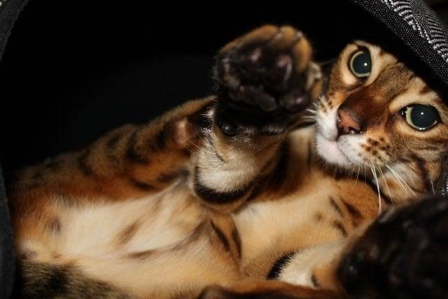 Maxie cat Hepper