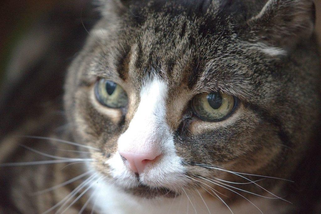 beautiful old cat