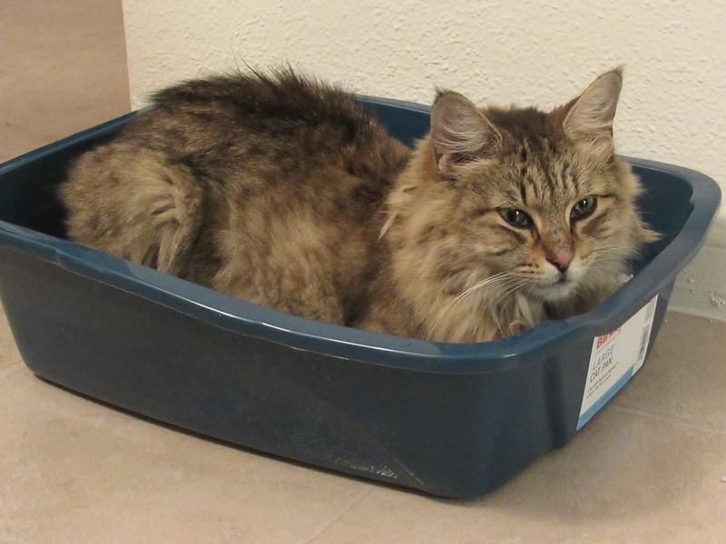 cat relaxing using litter box