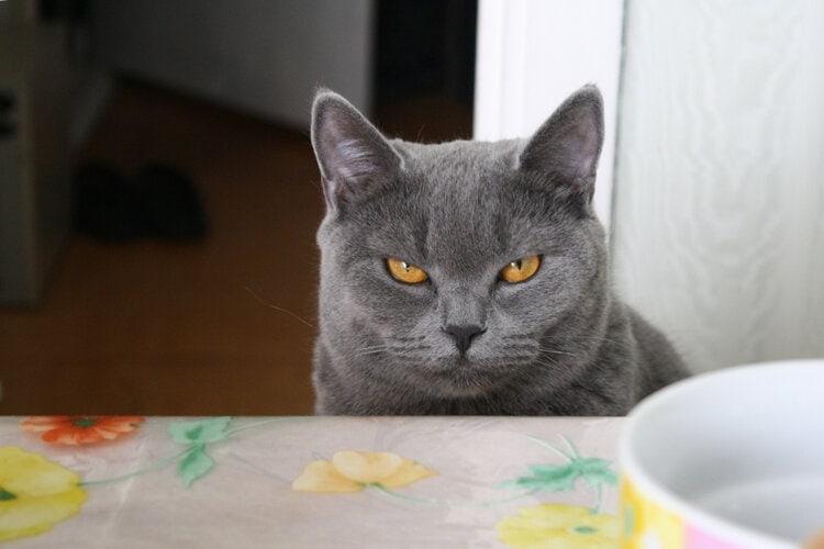 serious grey cat amber eyes
