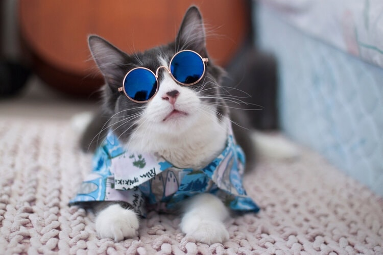 cool looking cat in sunglasses