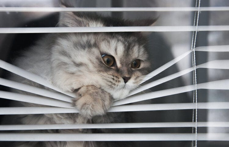 funny cat peaking through blinds