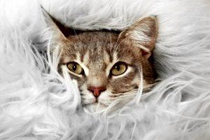 Cute cat in fur blanket
