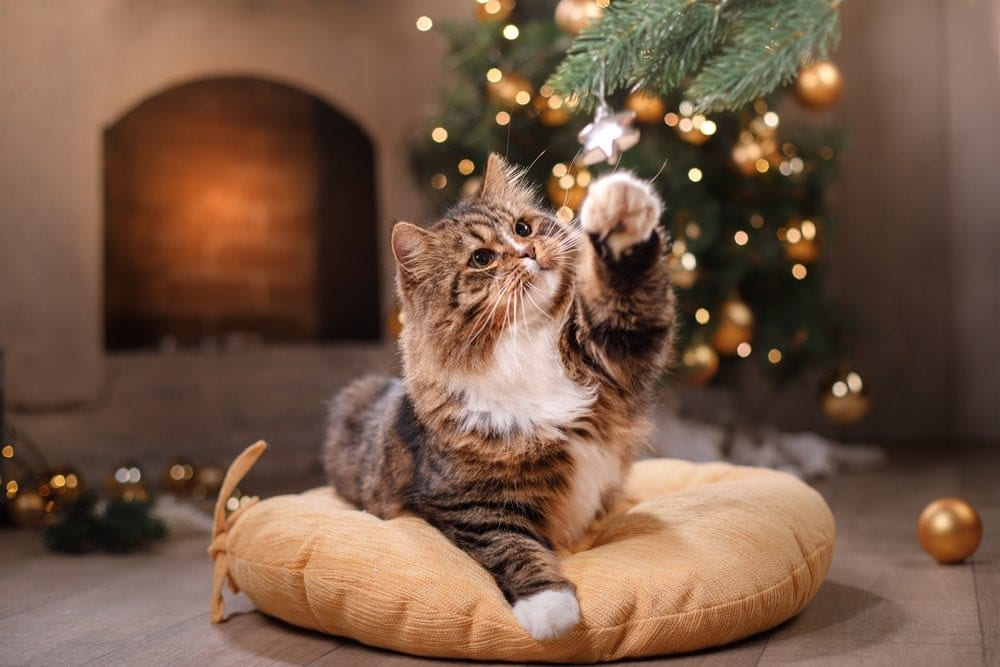 Happy cat tabby christmas playing on pillow
