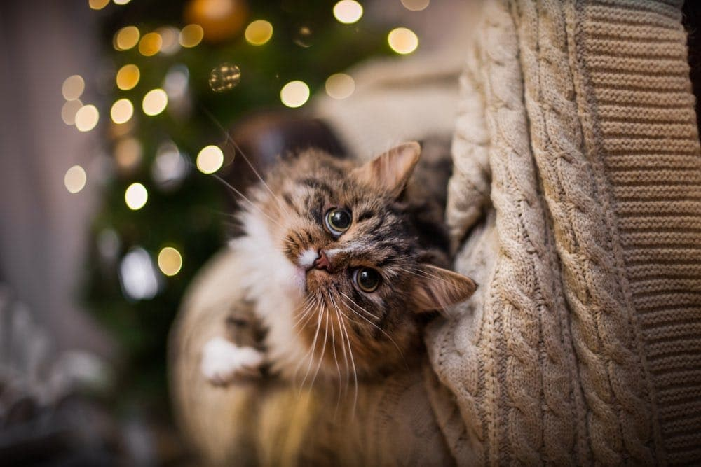 tabby cat plays by christmas tree and lights