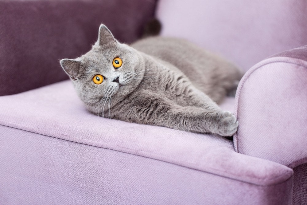 Scottish shorthair laying on couch