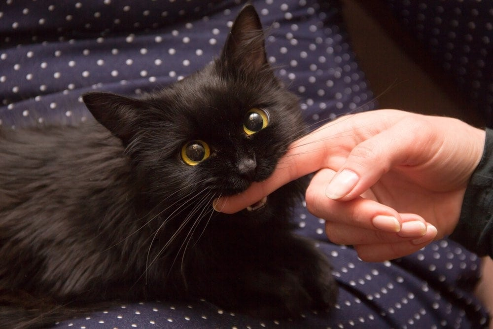 black cat playing with woman hand and biting finger