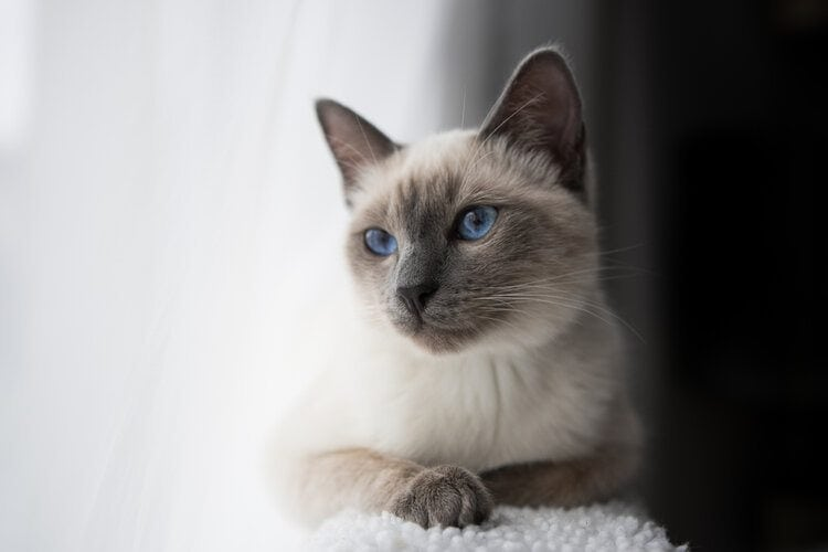 3 Best Small Cat Breeds for Apartment Living (with Pictures)