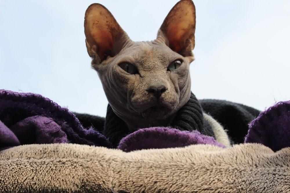 Sphynx on blanket