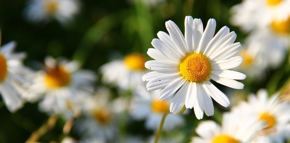 daisies toxic to cats