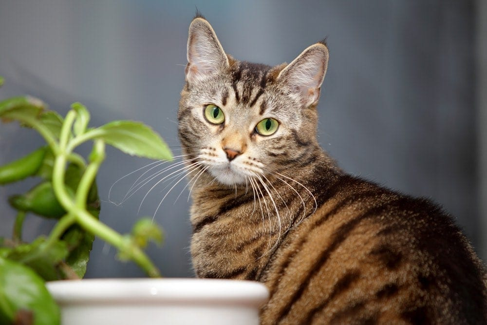 tabby cat with house plant