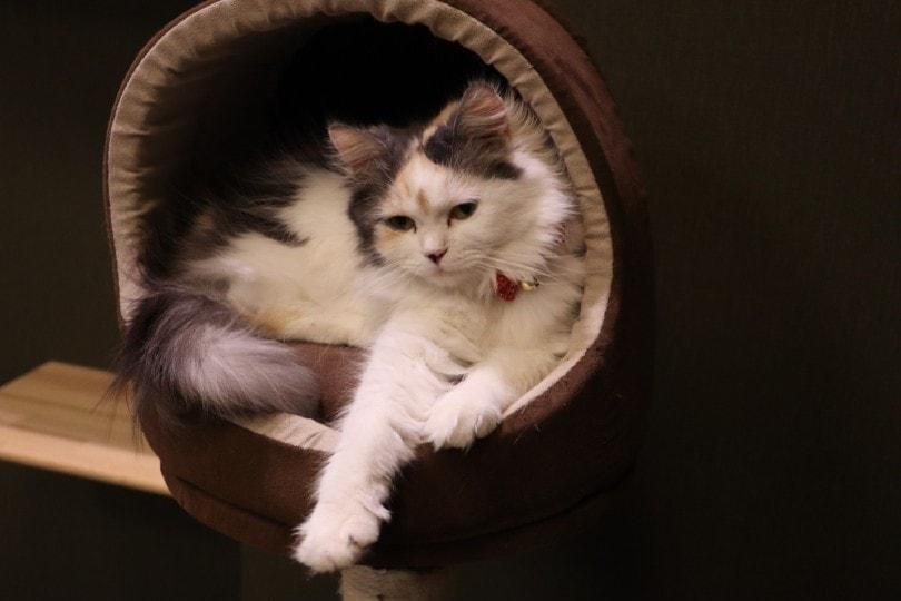 Ragamuffin cat in cat brown cat bed