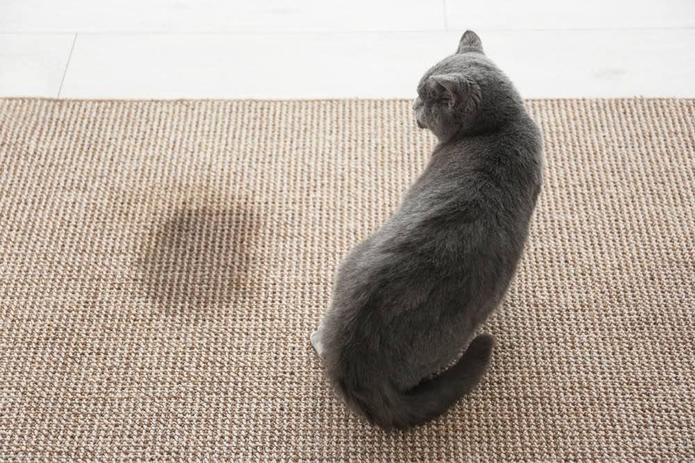 Cute grey cat on carpet near wet spot pee