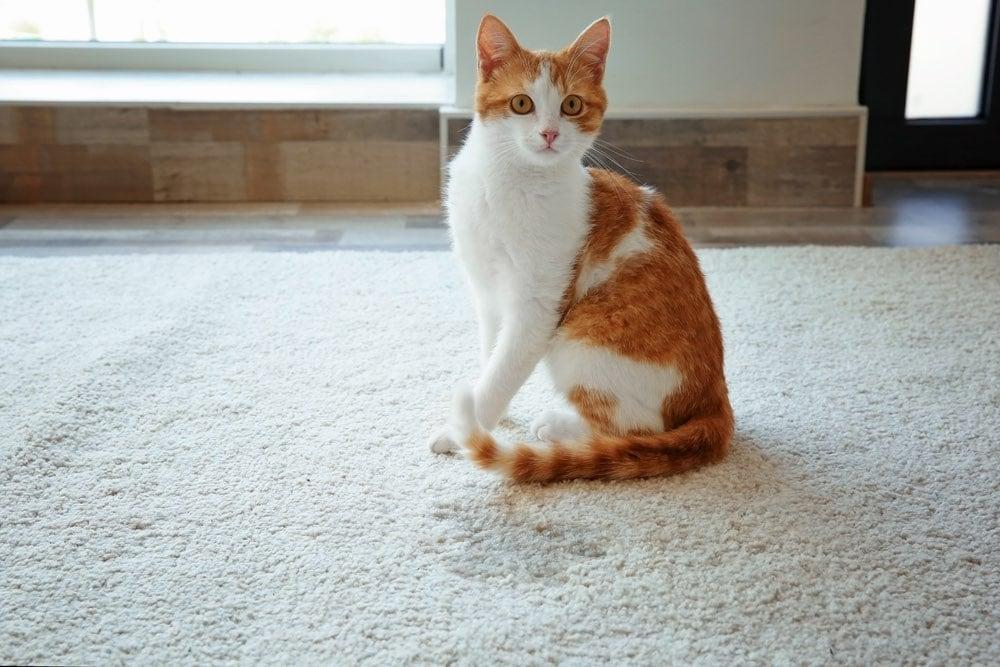 orange cat next to wet spot pee on carpet