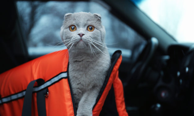 Road Trips with Your Cat: How To Prepare For Long Drives