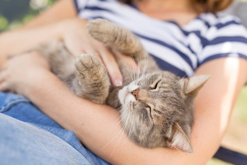 Tabby cat laying on owners lap