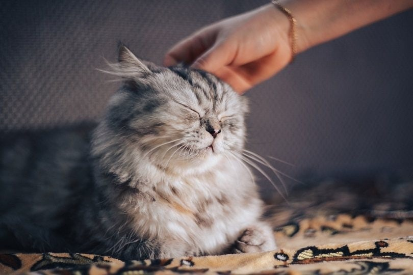 grey cat getting pet by owner