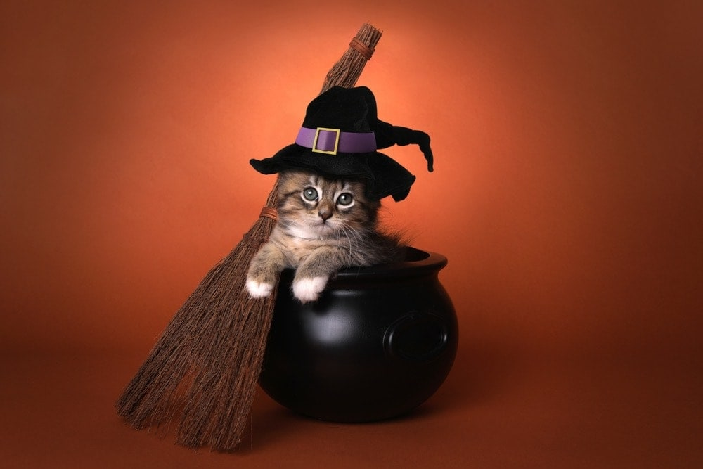 kitten dressed as a witch in a cauldron halloween