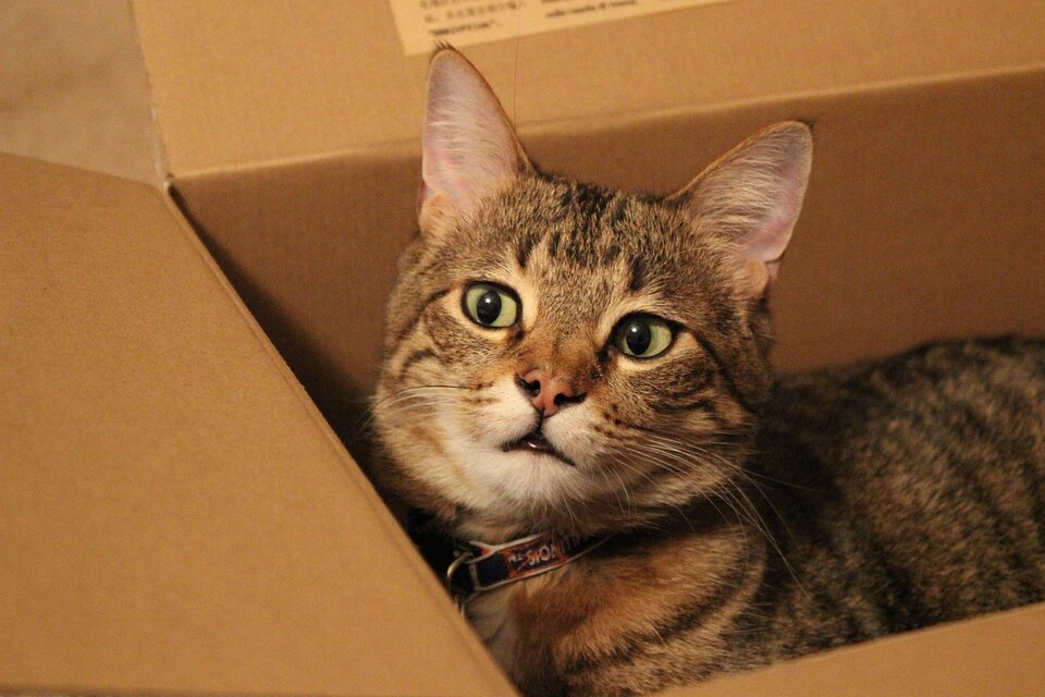 cat in moving box