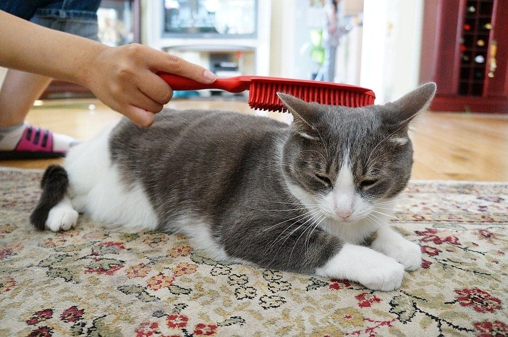hand-brushing-a-cat
