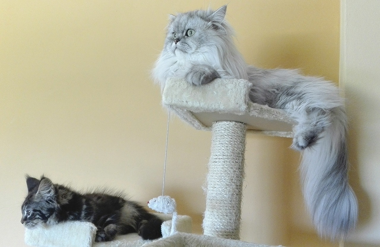 persian cats on top of scratch post
