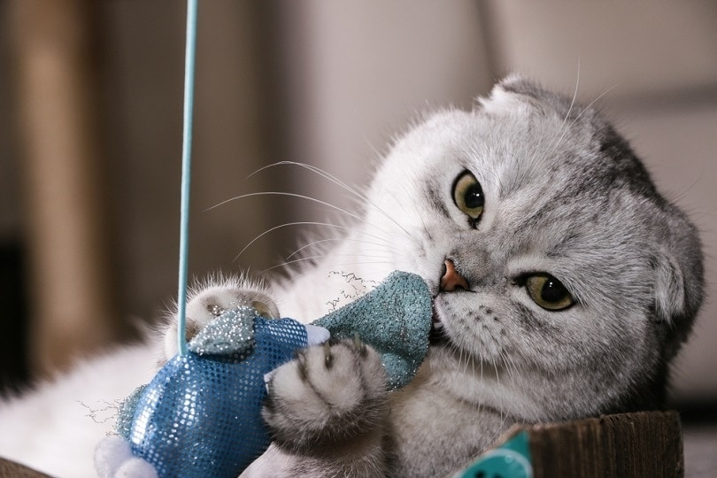 silver chinchilla Scottish fold playing toy