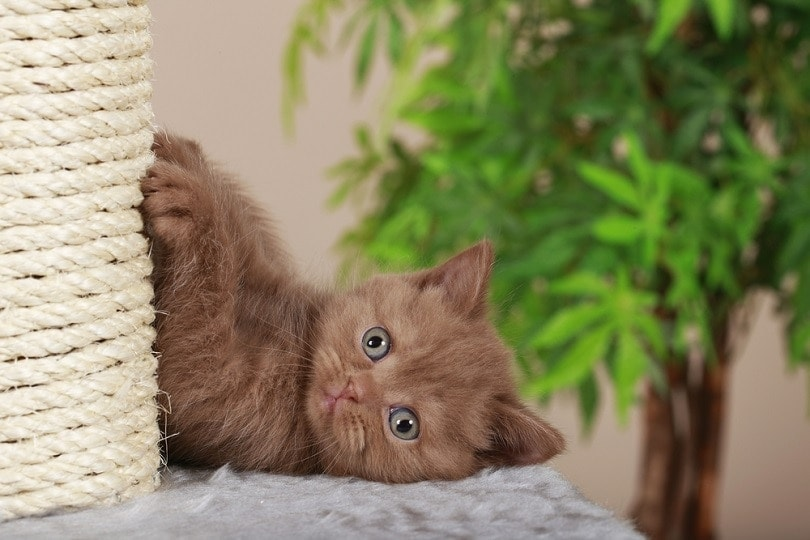 British-short-hair-kitten-beside-scratching-post_absolutimages_shutterstock