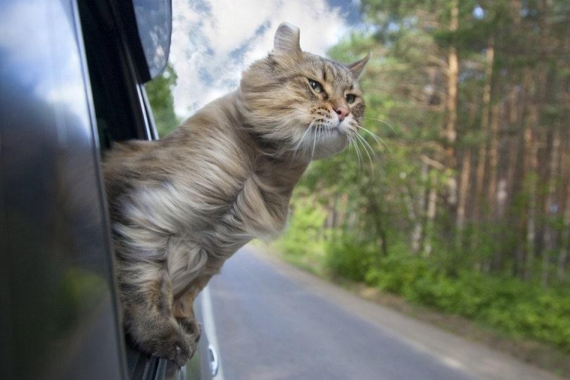 Cat-out-of-a-car-window_Popel-Arseniy_shutterstock