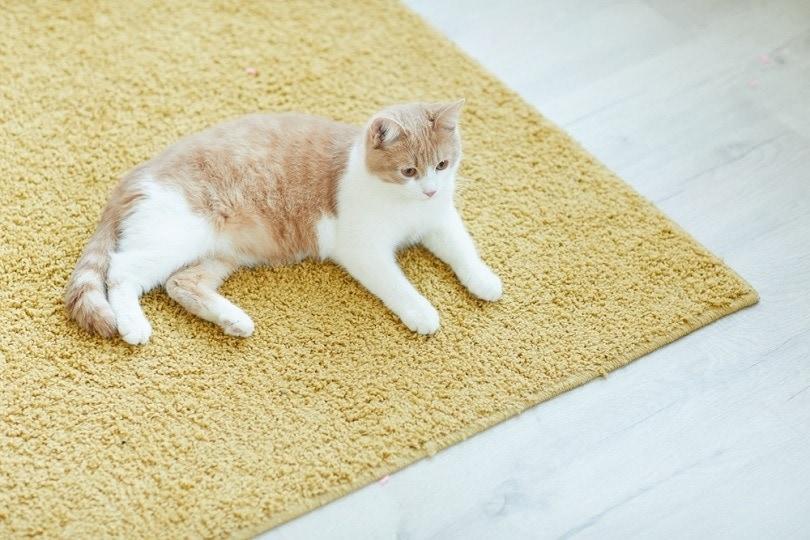 domestic-cat-resting-on-the-floor_AnnaStills_shutterstock