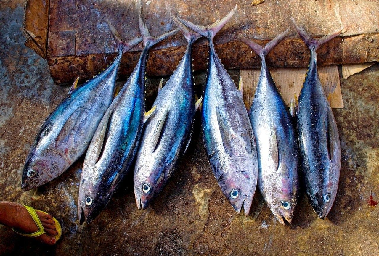 tuna fishes