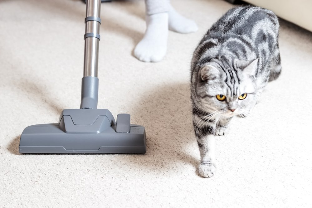 adorable cat walks beside vacuum