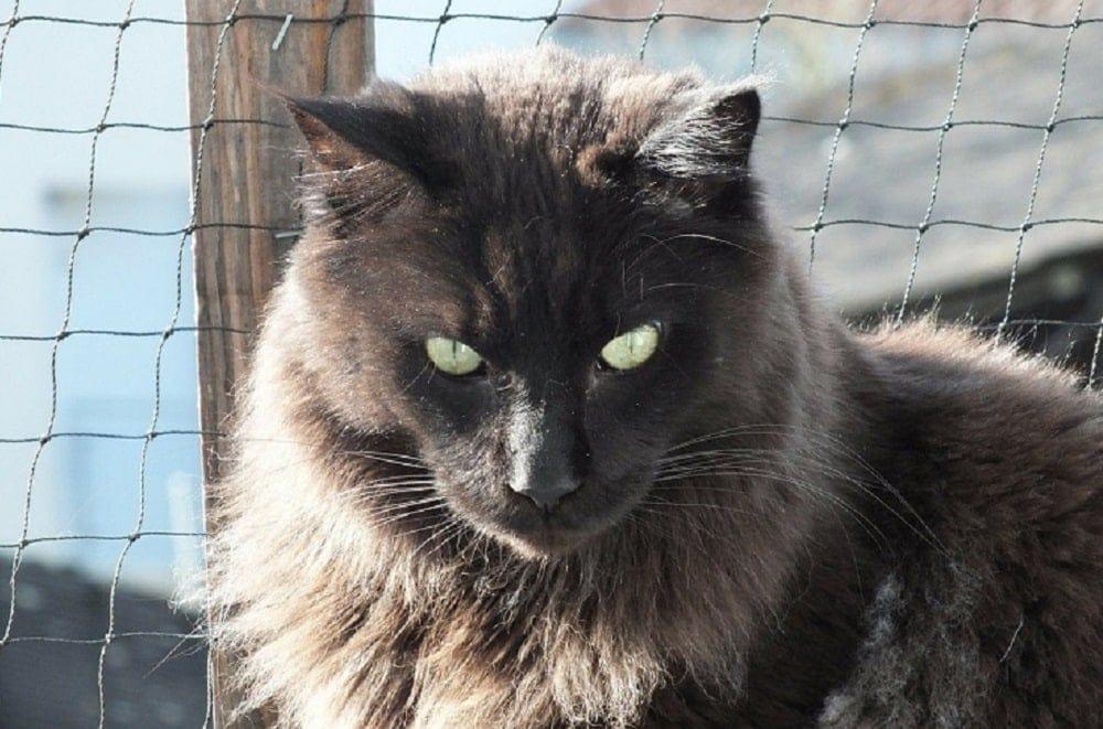 black-Maine-Coon-cat