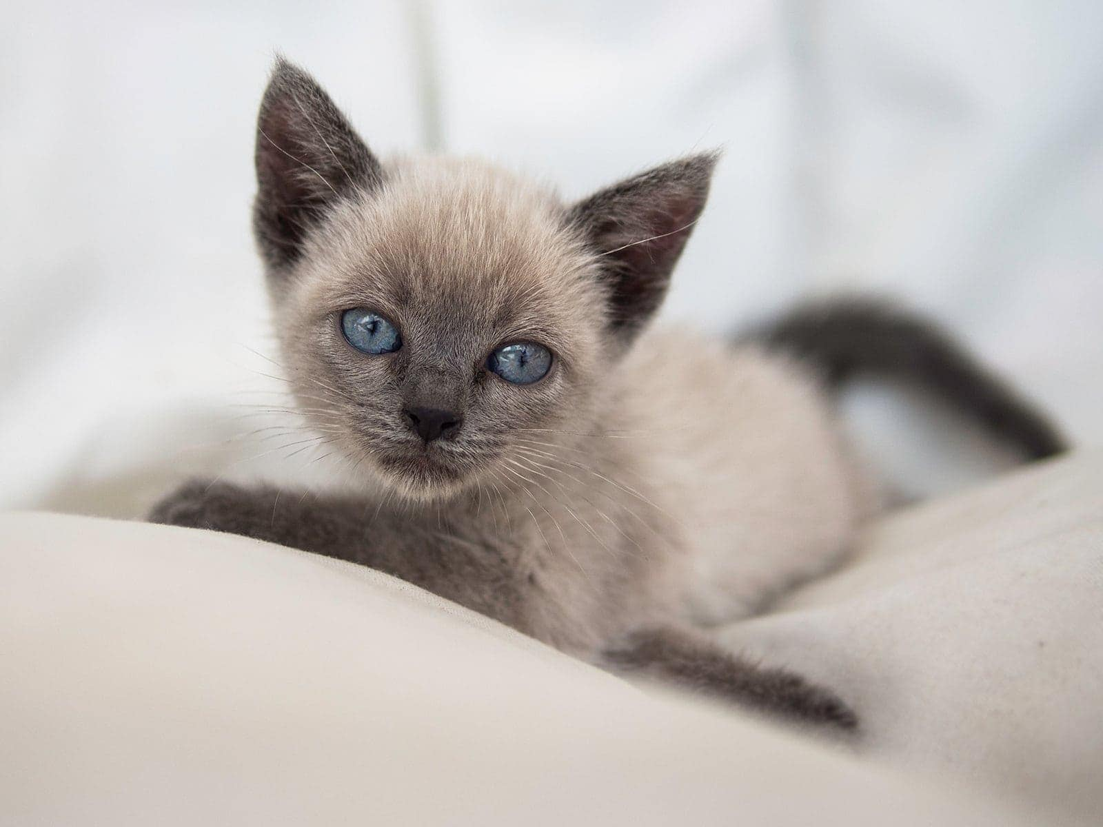 blue point siamese kitten