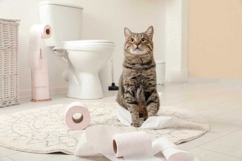 cat in front of toilet flushable litter
