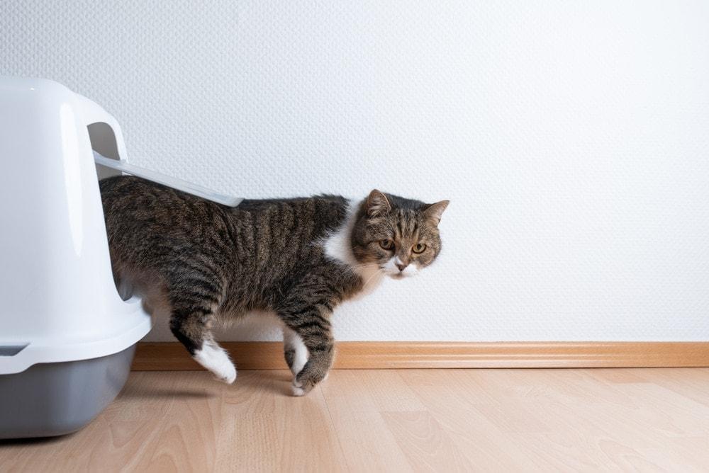 cat leaving litter box