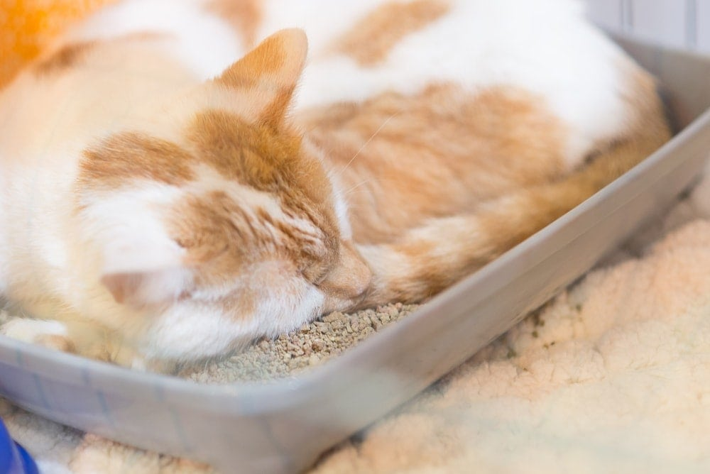 cat sleeping in litter box