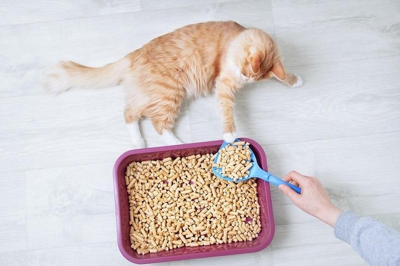 ginger cat with pellet litter