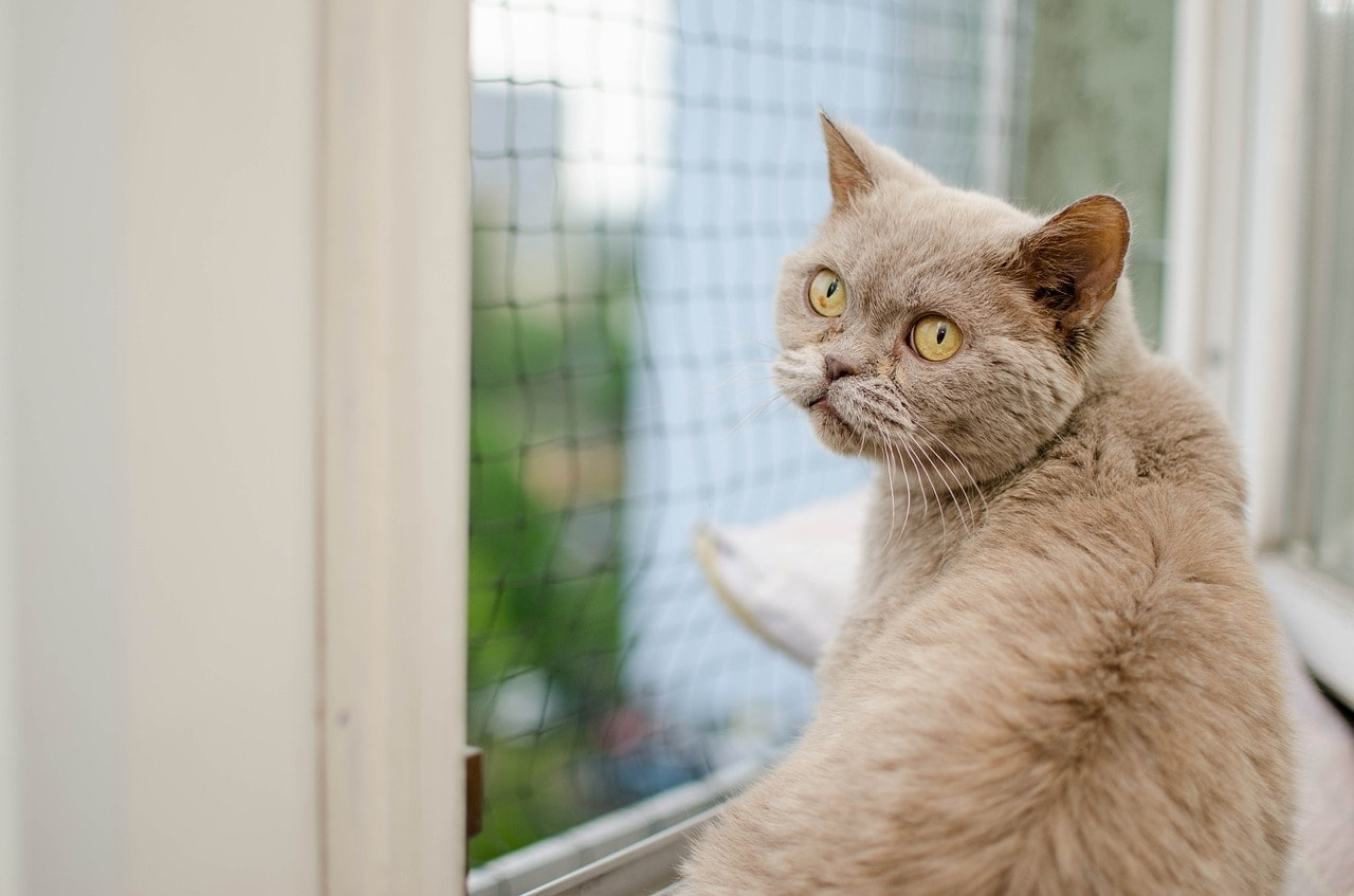 grey cat in front of the window