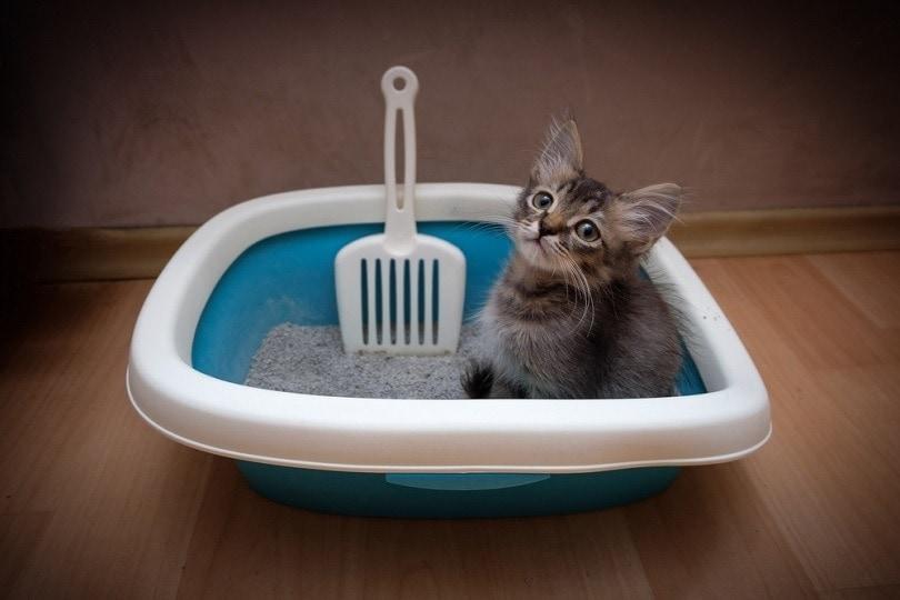 kitten in litterbox