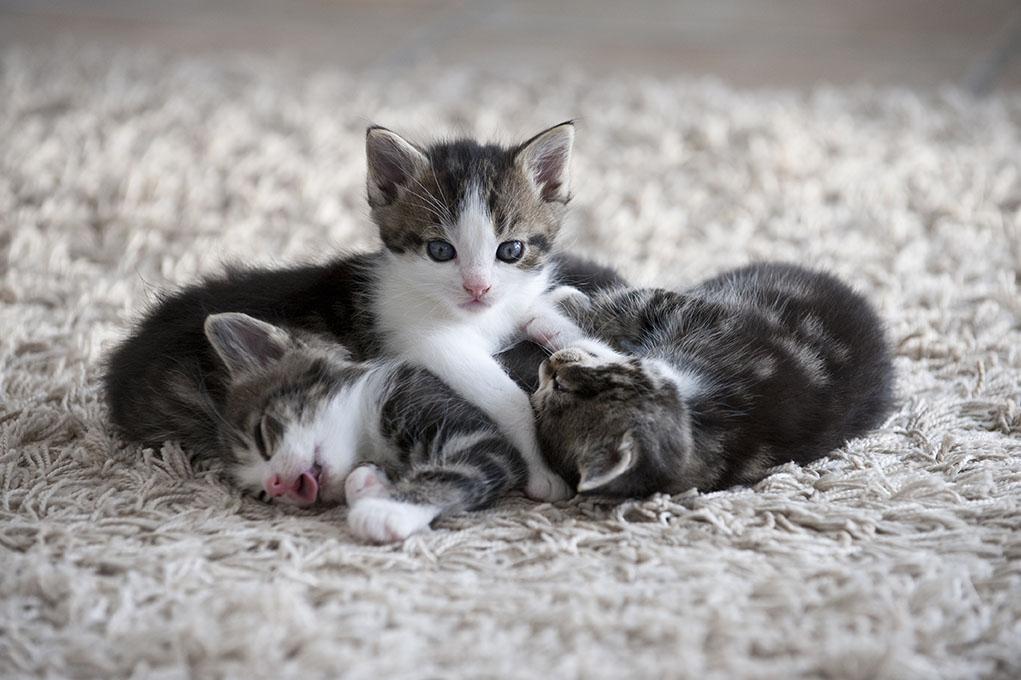 kittens in wool carpet
