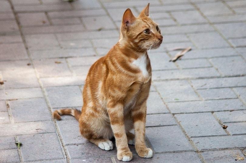 orange stray cat