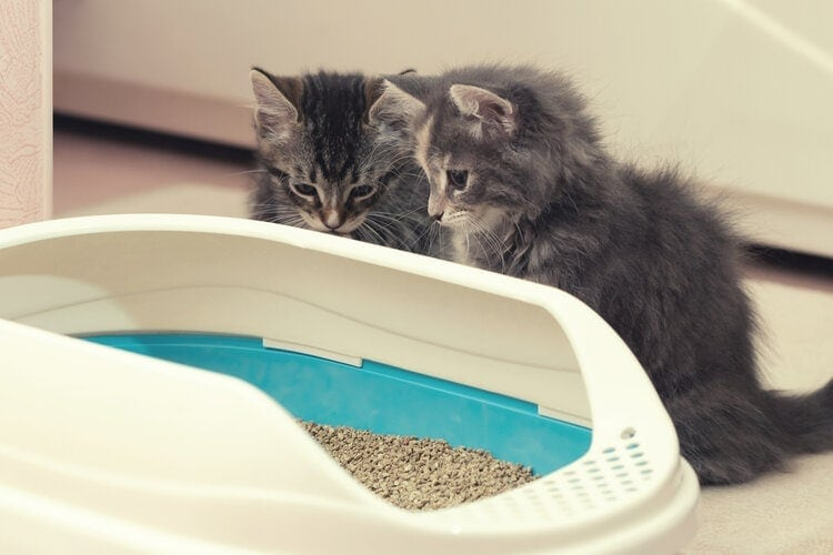 two cute kittens looking at litterbox