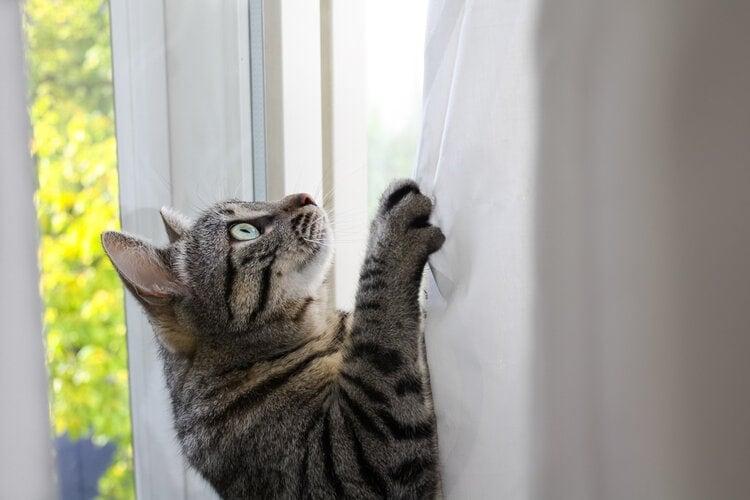 cat climbing curtain