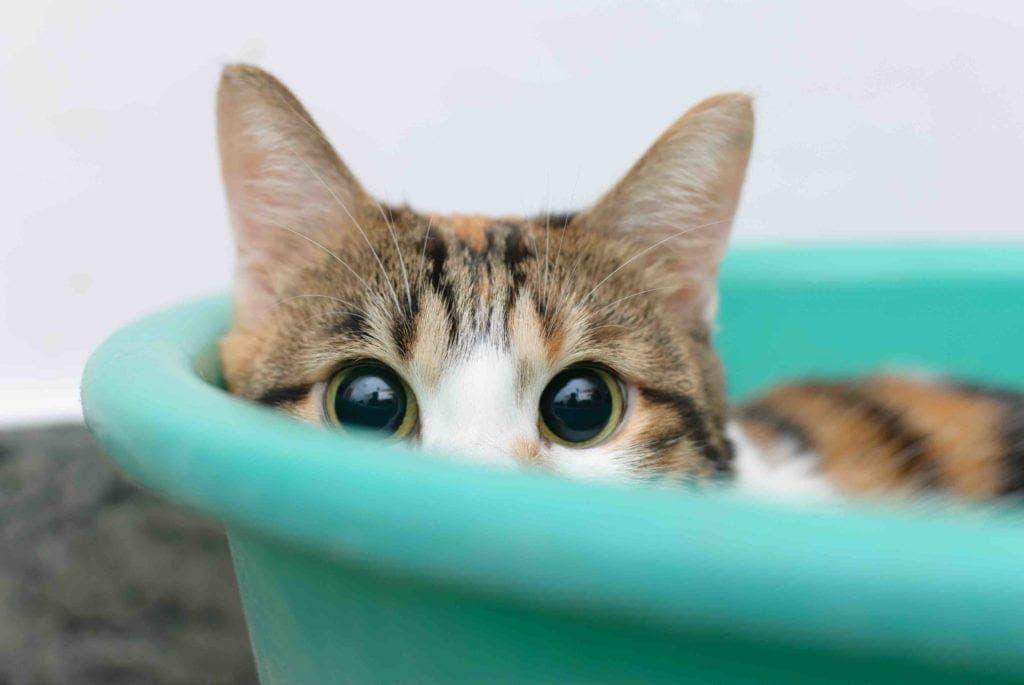 shy scared-cat-in-bucket litter box