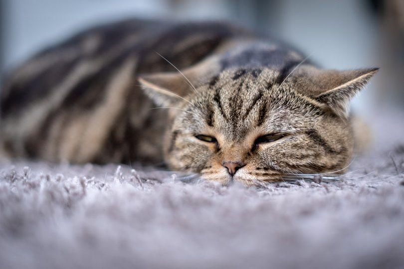sick grey cat