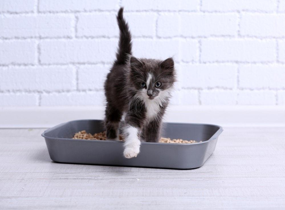 small grey kitten in plastic litter tray