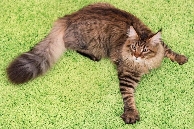 tabby scratching & guarding