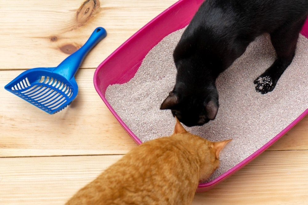 two cats attractant to litter box