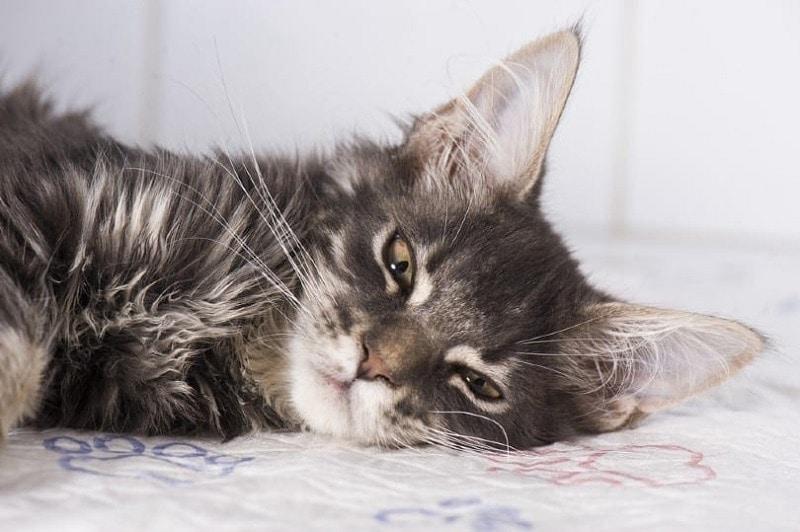 Sick cat_Shutterstock_Kachalkina Veronika